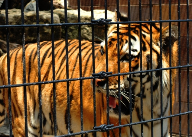 Omaha Zoo Tiger, Tiger, Tiger in Cage