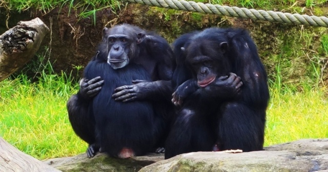 chimpanzee family, Chimps, Zoo, Taronga Zoo, Australia