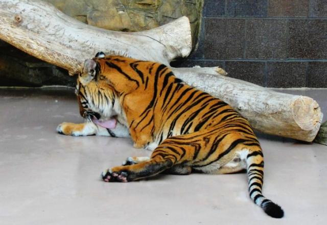 Tiger, Omaha Zoo, Henry Doorly Zoo, Tiger Bite, Tiger Tongue