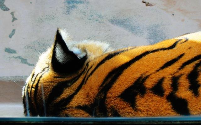 Tiger, Tiger Stripes, Omaha Zoo, Henry Doorly