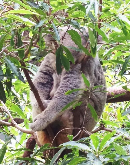 Koala Bear, Taronga Zoo, Sydney, Austrlia