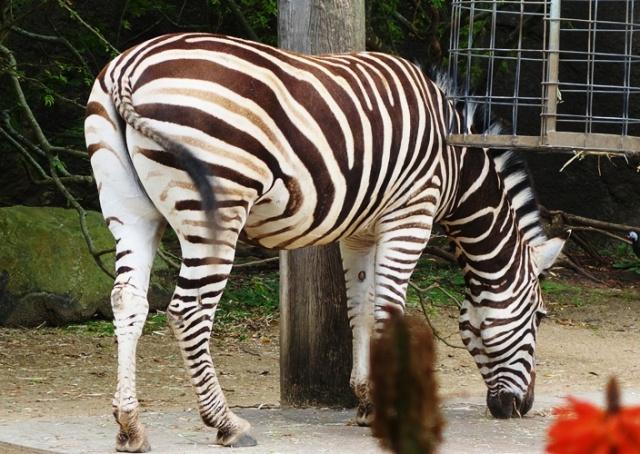 Plains Zebra, Taronga Zoo, Zebra, Stripes