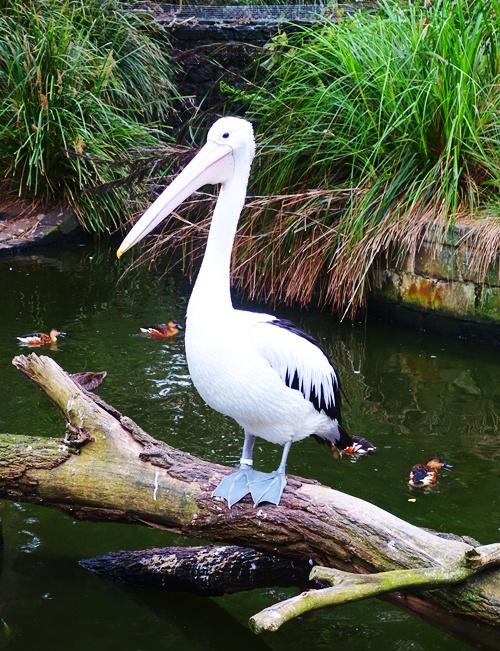 Pelecanus conspicillatus, Australian Pelican, Taronga Zoo, Pelican