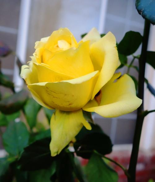 St. Patrick Rose, Rose Bushes, Winter Roses, Pruning