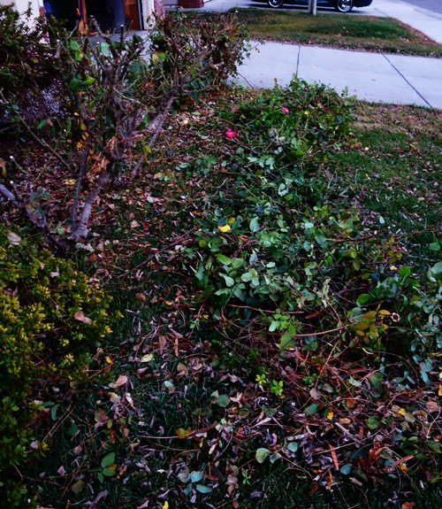 Roses, Pruning, Winter Cutting, Yard Work