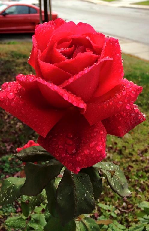 December Roses, Raindrops on roses, raindrops, Mister Lincoln Rose