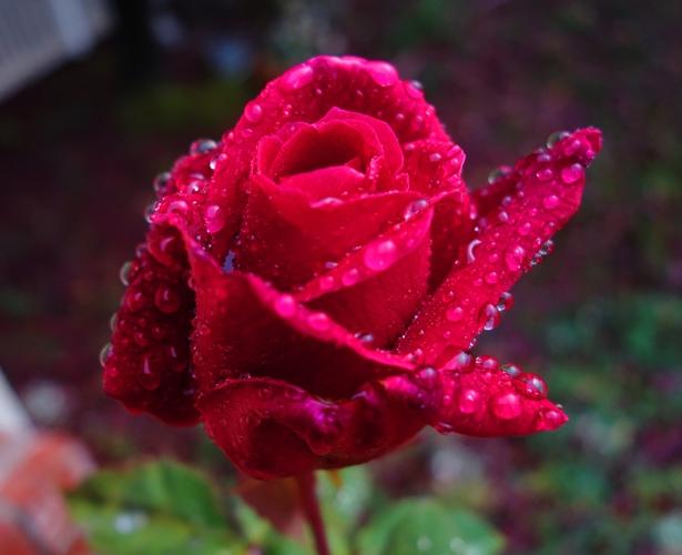 Mister Lincoln, Rose Bloom, Raindrops on Roses, Red Rose
