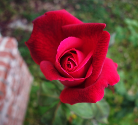 Red Rose Bloom, Mister Lincoln, December Bloom, Fragrant Rose