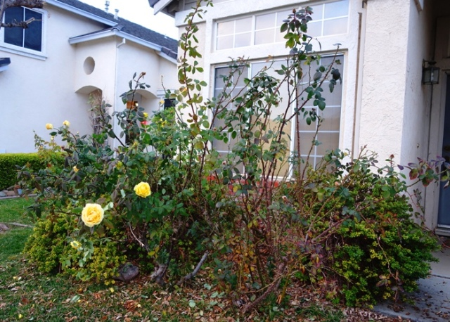 Roses before pruning, winter roses, pruning, Winter cutting