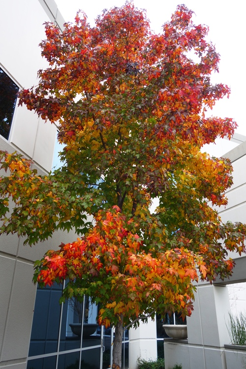 December Fall Foliage, Colorful Tree, Walk at Work, California Autumn