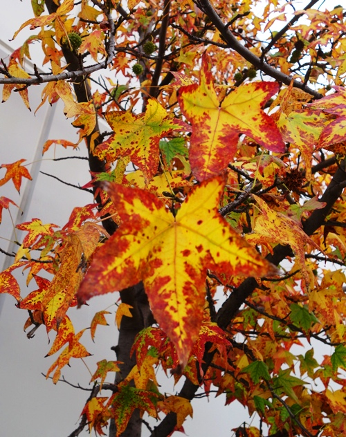 Fall Leaves, Colorful leaves, Red Leaves, Yellow Center, California Autumn