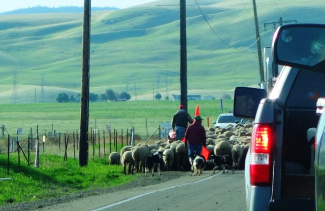 Sheep herding, flock relocation, Tracy, California, Central Valley Hills