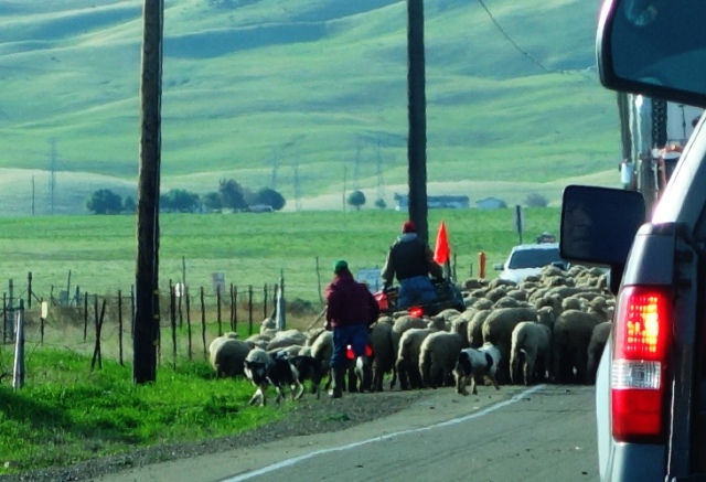 Sheep, Herding, Flock, Sheep Dogs, Corrall Hollow, Traffic Delay