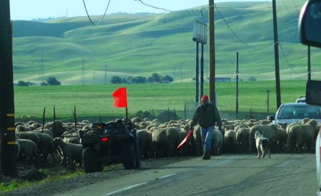 Sheep Herding, ATV, Flock of Sheep, Central Valley, Agriculture