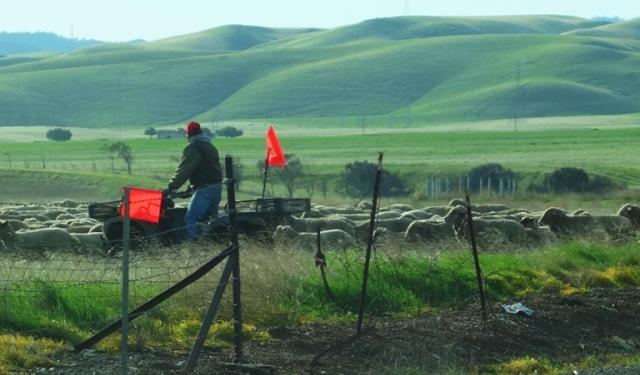 Shepherds, Flock of Sheep, Herding Sheep, Tracy, Corrall Hollow Road