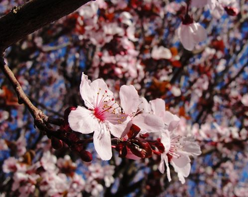 Plum Blossoms, Spring, Pink blossoms, Leap Year, February 29