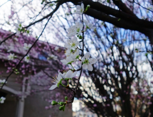 Blossoms, Plum Blossoms, February