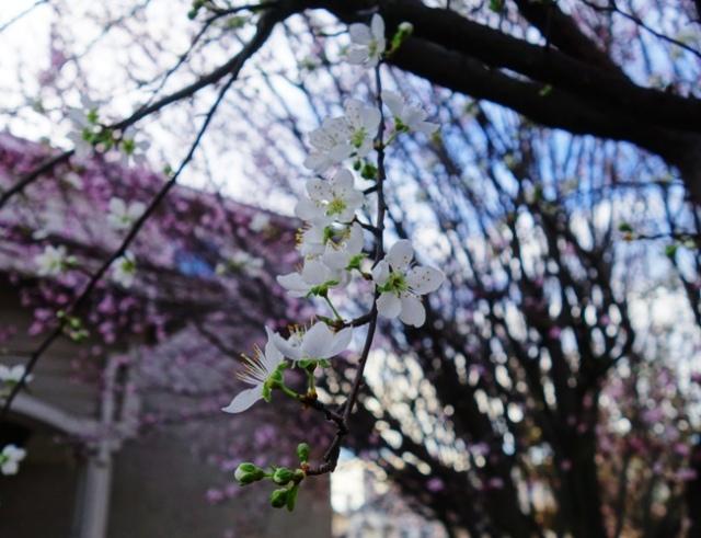 Blossoms, Plum Blossoms, February