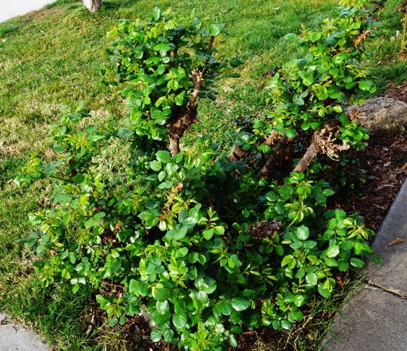 Rose Bush, First Foliage, Rose Leaves, Spring Roses