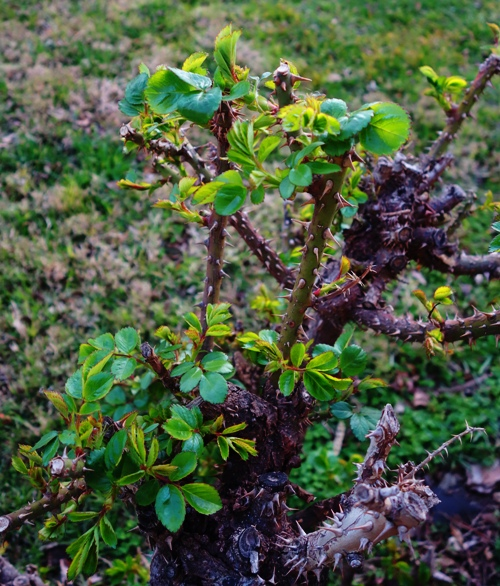 Rose Bush, Early Growth, Spring Growth