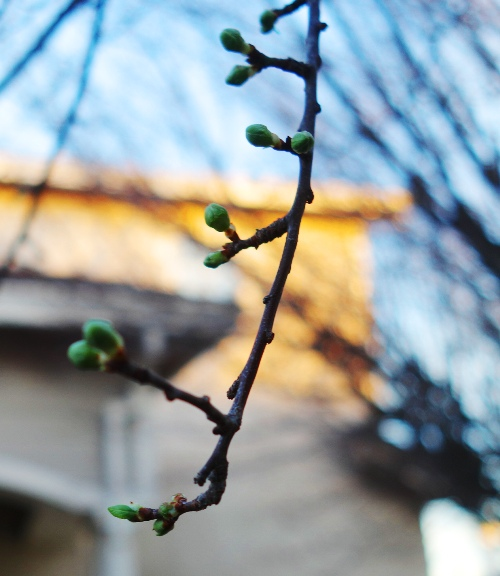 Early tree buds, spring, Renewal, february