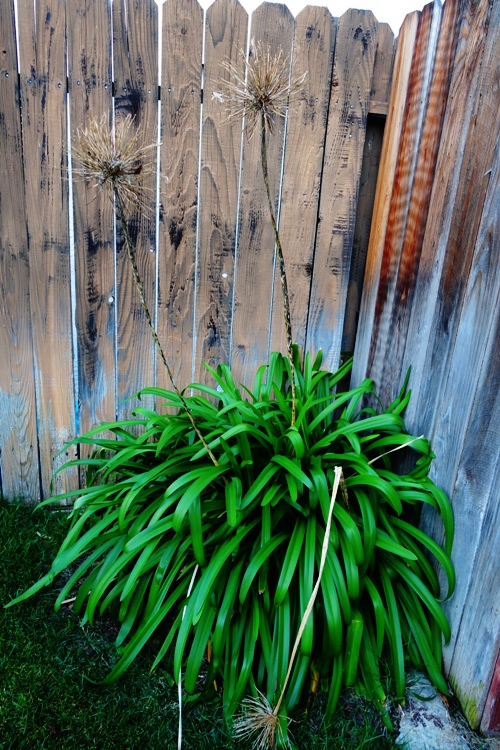 Agapanthus, Back yard, Yard work, trimming