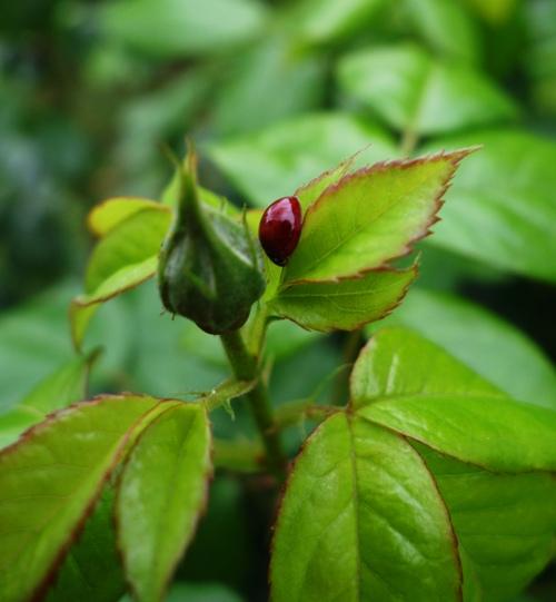 Lady bug, aphid control, roses, rose bush, spring