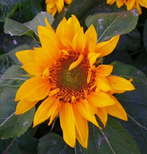 Sunflower, spring flowers, spring, changing seasons