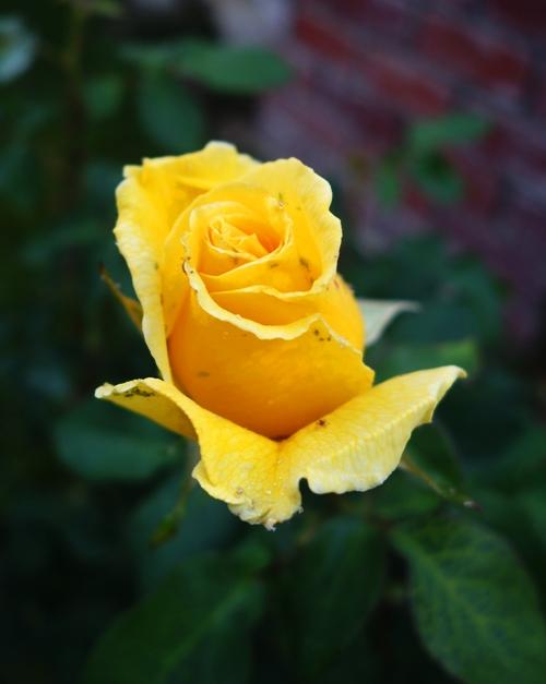 Rose Buds, Yellow Rose Bud, Winter Rose, First Spring Roses