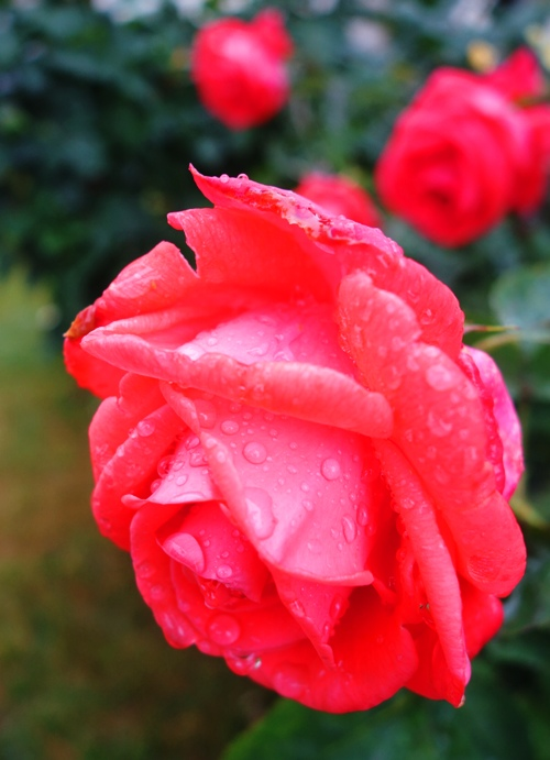 Raindrops on Roses, Favorite Things, Tropicana Rose