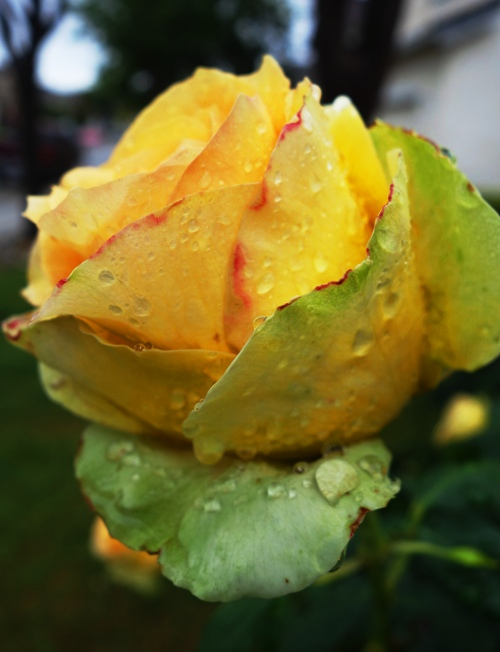 Raindrops on St. Patrick Rose, Yellow Rose, Green Rose