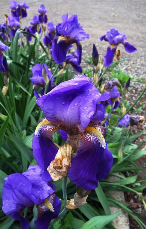 Rain Drops on Iris, Purple Iris, Spring Showers, April Showers