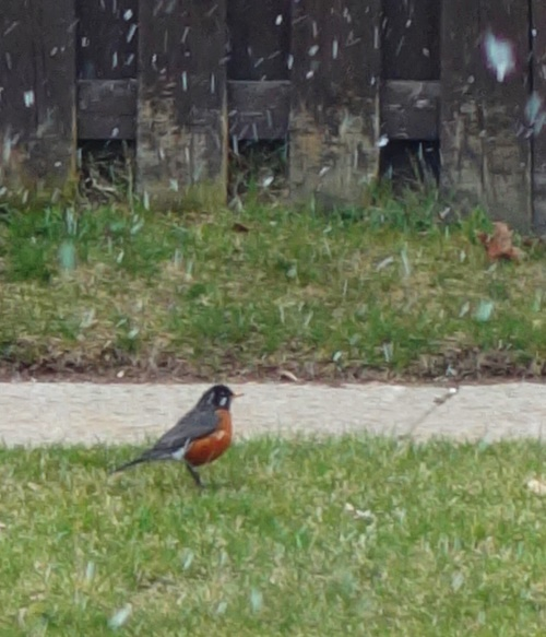 Snow Flurries, Robin, Signs of Spring, Canadian Spring