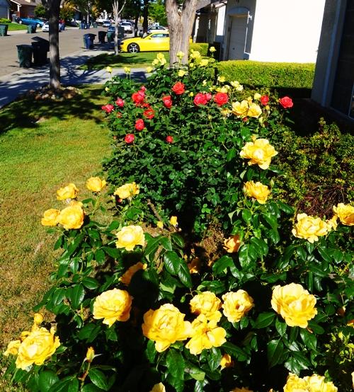 Spring Roses, Yellow Roses, Tropicana, Floribunda, St. Patrick Rose
