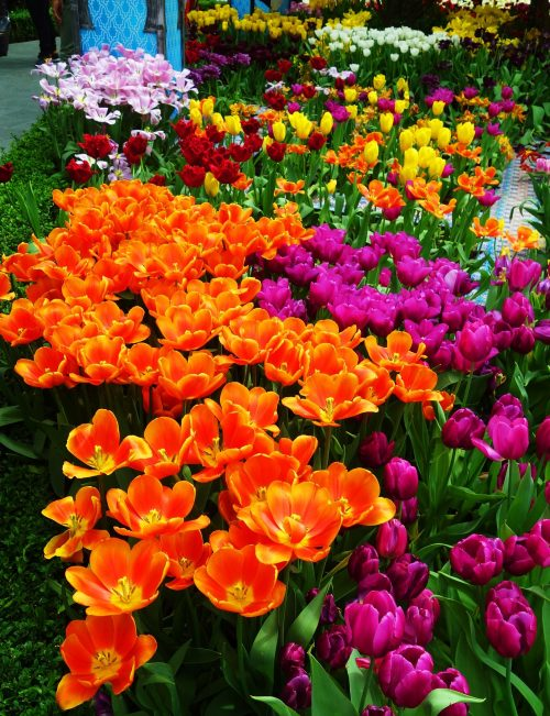 Tulip Mania, Gardens by the Bay, Singapore, Cooled Conservatories, Tulips