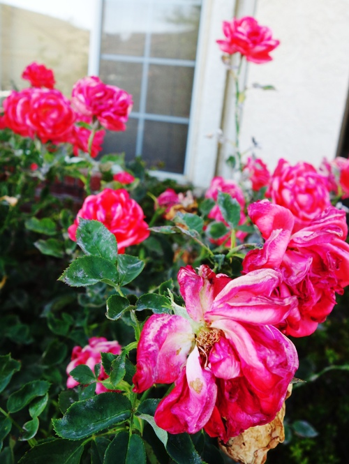 Tropicana Roses, Hybrid Roses, Heat Damaged Blooms, Hot