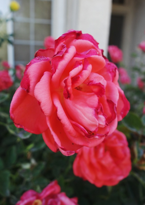 Heat Damage, Rose Bloom, Tropican, Hybrid Tee