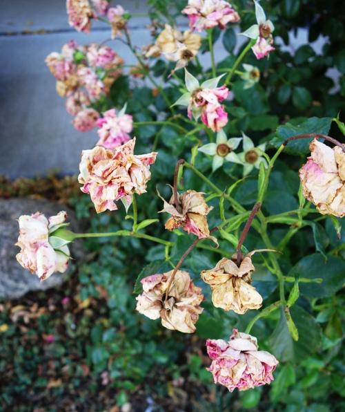 Pink Floribunda, Pink Roses, Dried out Roses
