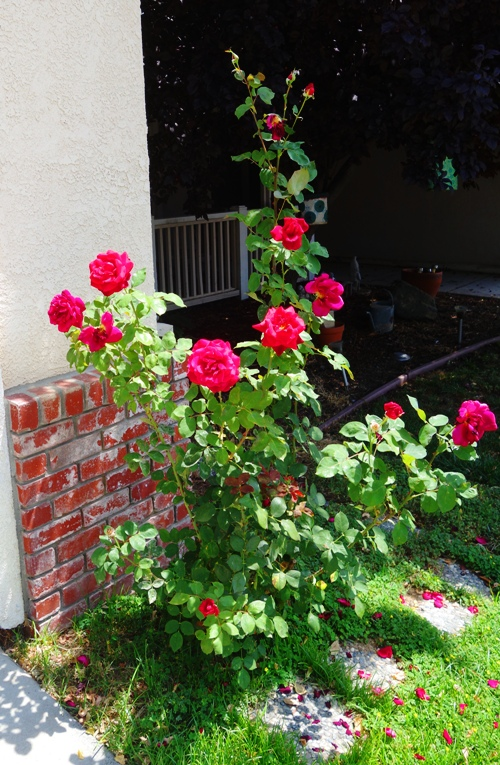Roses, Mister Lincoln, Red Roses, Home to Roses, Rose Garden