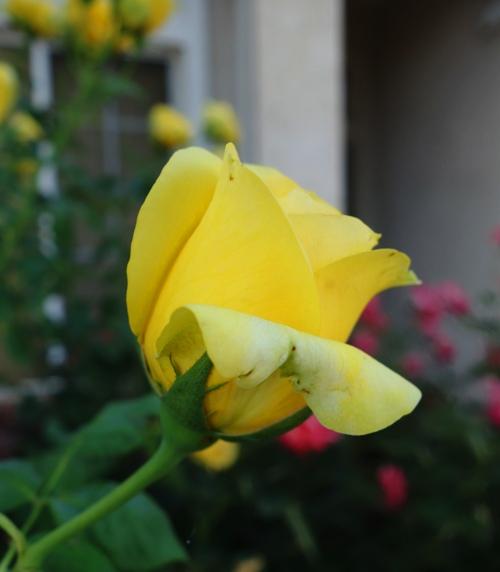 Yellow Rose, June Rose, Yard, Rose Bush