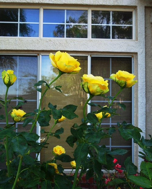 Yellow Roses, Afternoon in the Yard, Rose Bush, St. Patrick