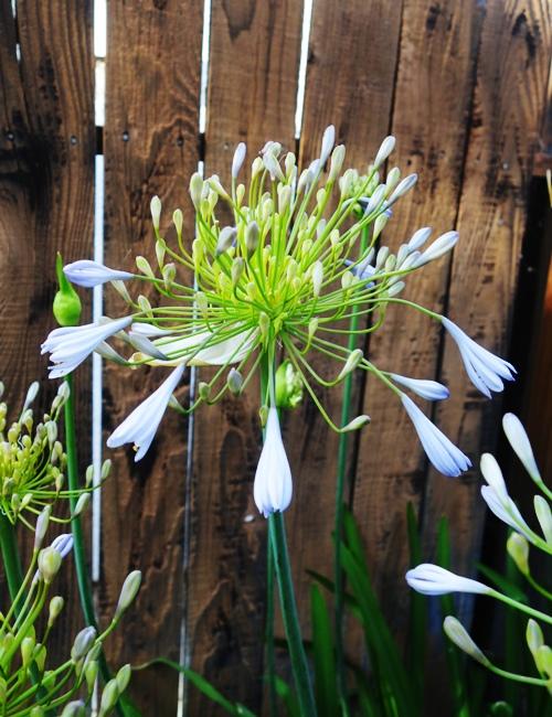 Agapanthus, Back Yard, Flowers, June Flowers