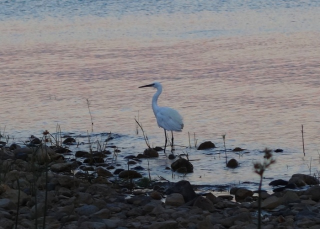 Bird on shore of Galilee, Sea of Galilee, Galilean Wildlife
