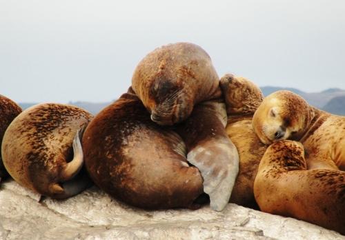 Sea Lions, Beagle Channel, La Isla de Los Lobos, Argentina, Lazy