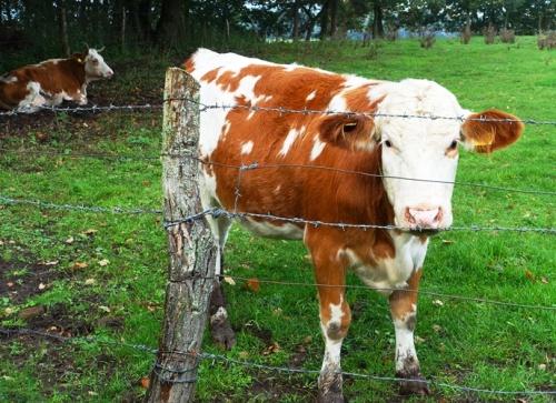 Cows, German Farms, Fields, Hike, Countryside