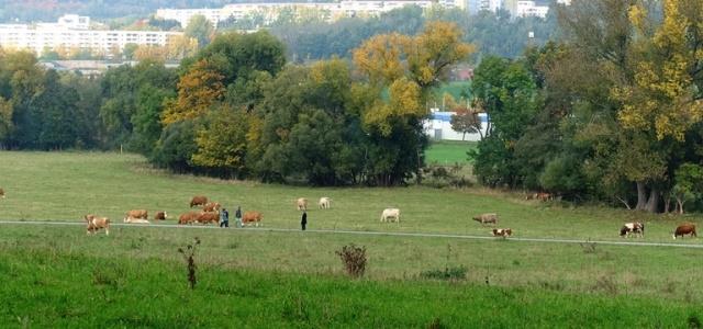 Fields, cattle, Germany, hiking, countryside, Jena