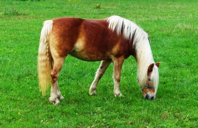 Horse, Large Mane, tail, field, country, Jena, Germany