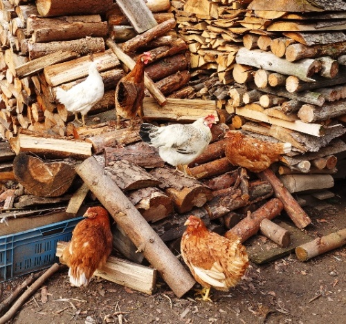 Chickens, Woodpile, jena, Germany, countryside