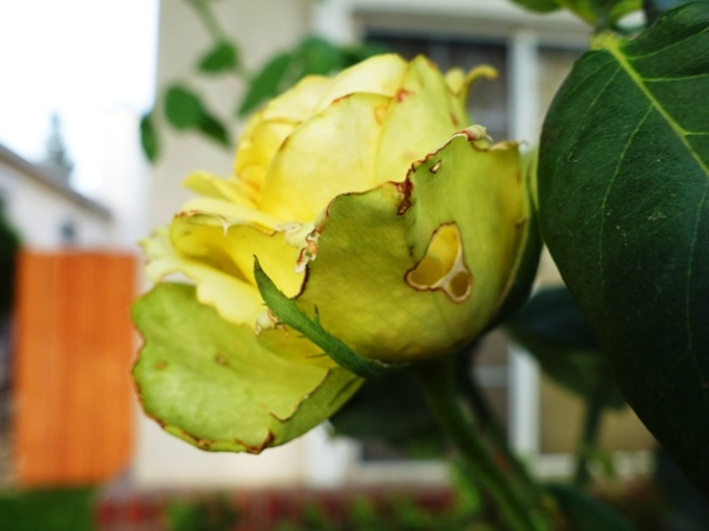 Saint Patrick Rose Bush, Yellow rose, green rose, flowers