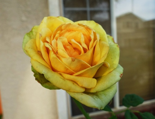Green Rose, Yellow Rose, Hybrid Tea, Flowers, Roses
